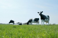 alle koeien